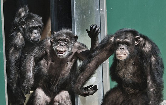 These lab chimps seeing the light of freedom for the first time in 30 years. Watch their reaction when they're finally released.