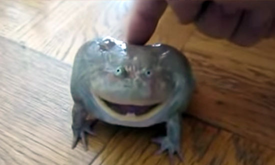 This frog really doesn't like being touched. And the way he screams is the most ridiculously weird thing ever!