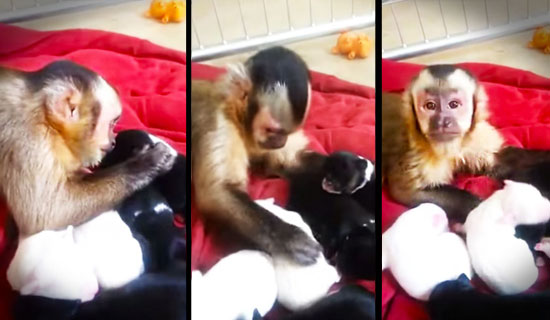 When this baby monkey is left alone with newborn puppies, he starts doing the cutest thing EVER!