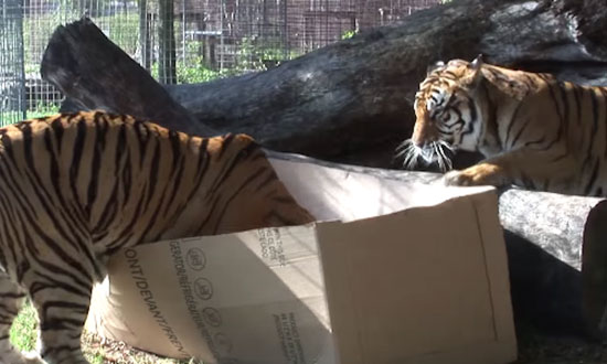 Proof that big cats love boxes too! I can't stop laughing!