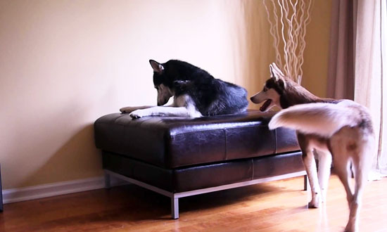 You have to see these two huskies having a hilarious argument. Are we sure they're not human?