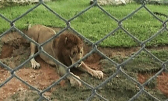 This circus lion was caged for 13 long years. Wait until you see what he does when he's let out for the first time