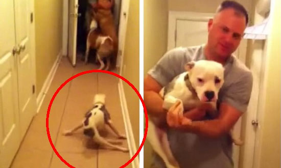 This disabled pit bull missed her owner so much. You will tear up when you see their reunion