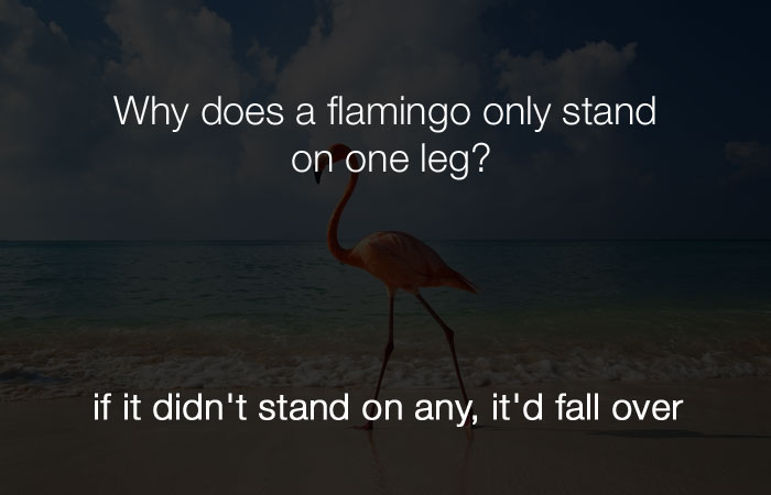 Stupid Jokes - Why does a flamingo stand on one leg?