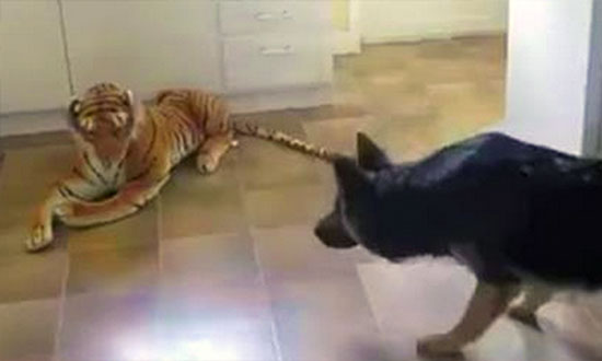 This German Shepherd walked in to his kitchen to confront a Lion! The rest is just hilarious!