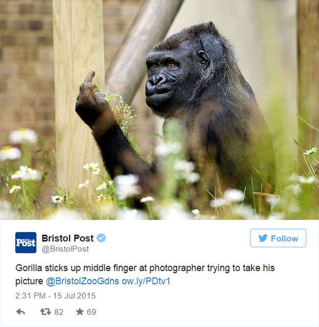 Grumpy gorilla flipping the bird at zoo visitors