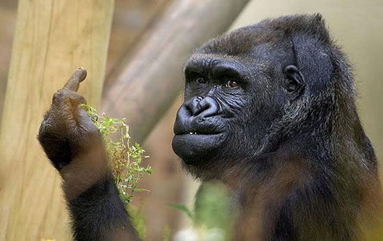 Gorilla Flipping the Bird at Zoo Visitors Is the Weirdest Thing You'll See Today