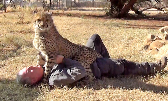 A Cheetah Approaches a Man Taking Nap Under a Tree. He Wasn't Prepared for What Happened Next
