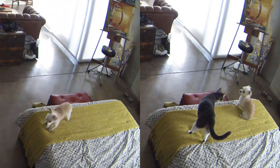 Cat Doesn't Take Any Crap From This Barking Dog While Owners Are Away