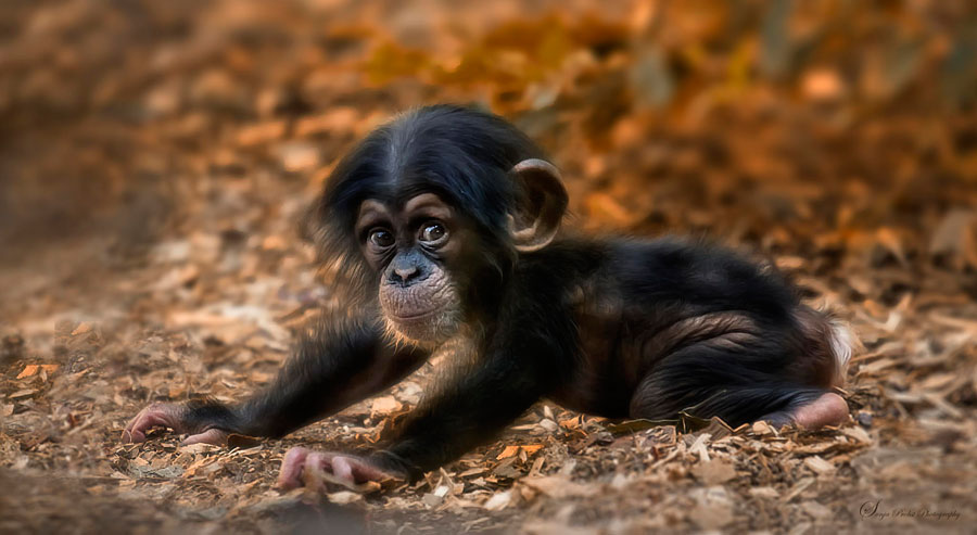Baby Animal Pictures - Baby Chimpanzee