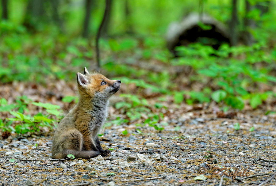 Baby Animals - Baby Fox