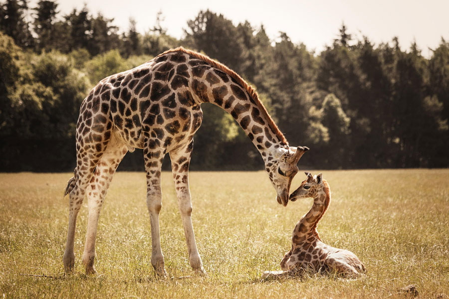 Cute Animal Pictures - Baby Giraffe