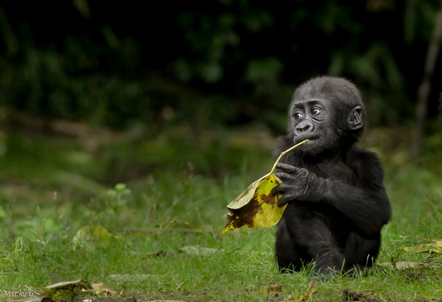 Cute Animal Pictures - Baby Gorilla