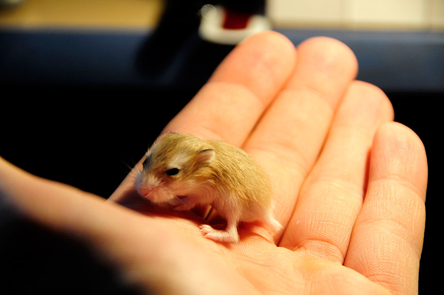 Cute Animal Pictures - Baby Hamster