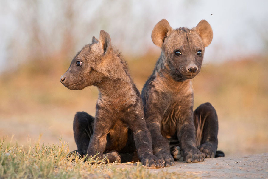 Baby Animal Pictures - Baby Hyenas