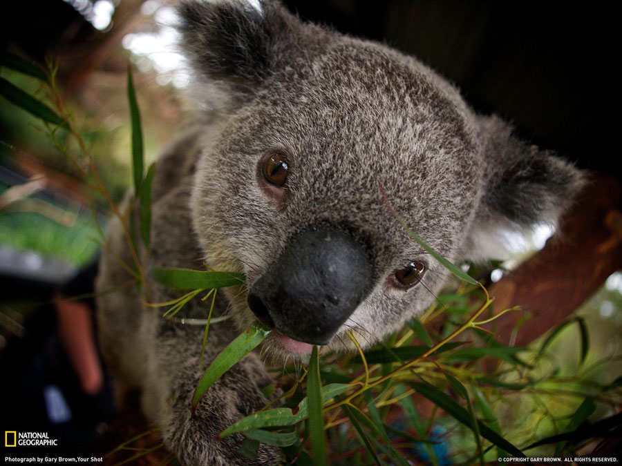Cute Animal Pictures - Baby Koala
