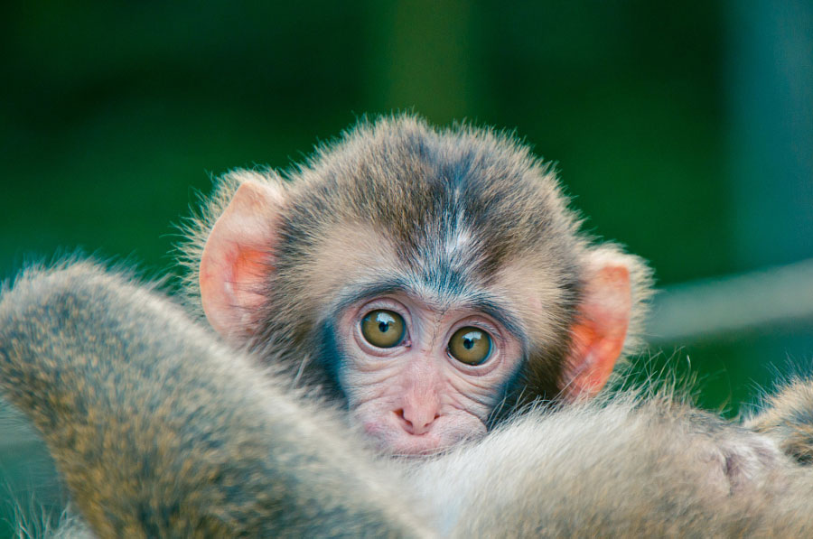 Cute Baby Animals - Baby Monkey