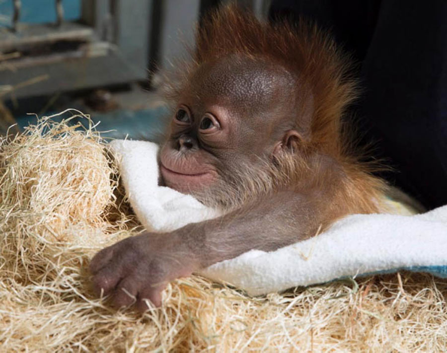 Cute Animal Pictures - Baby Orangutan