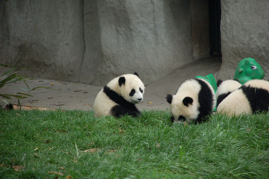 Baby Animal Pictures - Baby Panda