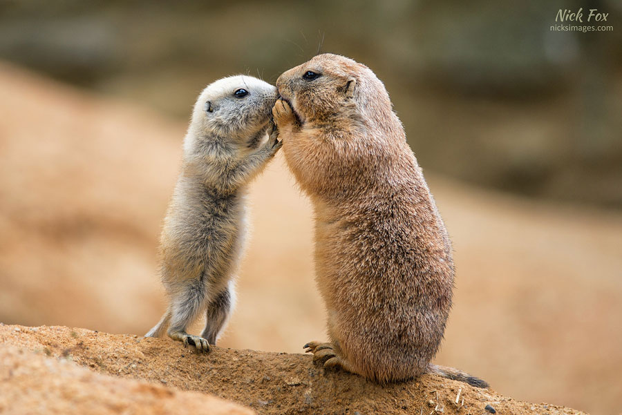 Baby Animals - Baby Prairie Dogs