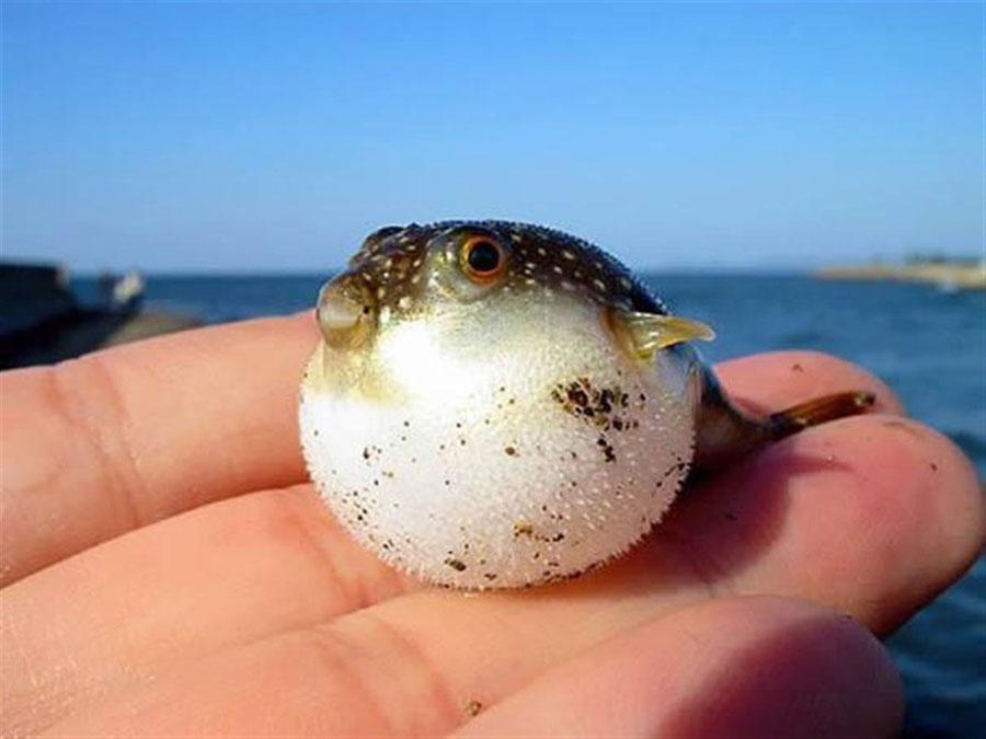 Baby Animals - Baby Puffer Fish