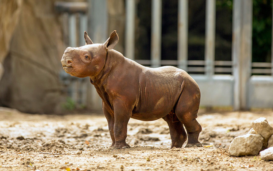 Baby Animals - Baby Rhino