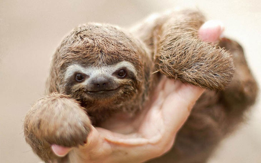 Baby Animal Pictures - Baby Sloth