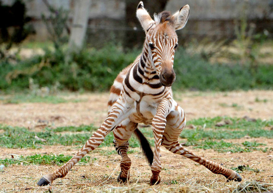 Baby Animals - Baby Zebra