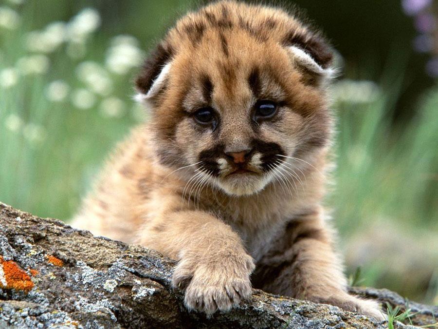 Cute Baby Animals - Cheetah cub