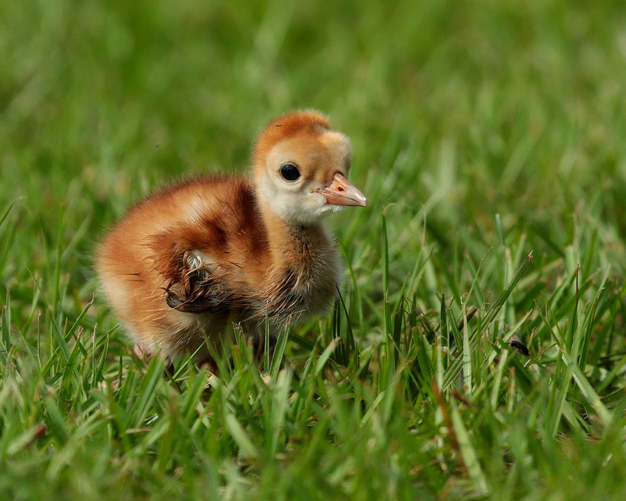 Baby Animal Pictures - Crane Chick