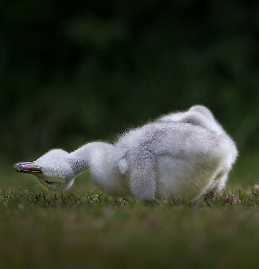 Cute Baby Animals - Cygnets