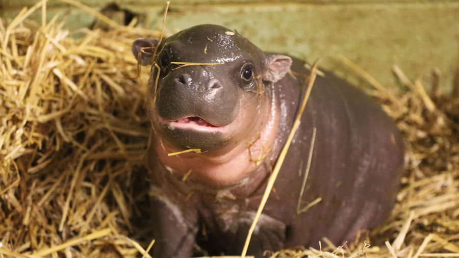 Baby Animals - Hippo calf