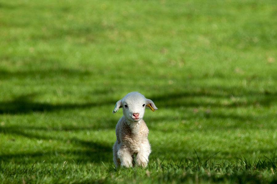 Cute Animal Pictures - Lamb