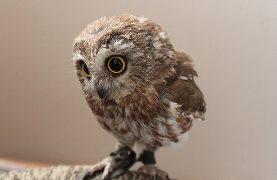 Baby Animals - Owlet