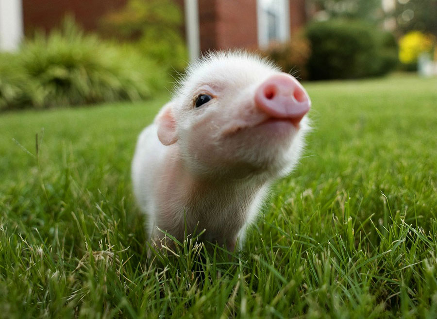 Baby Animal Pictures - Piglet