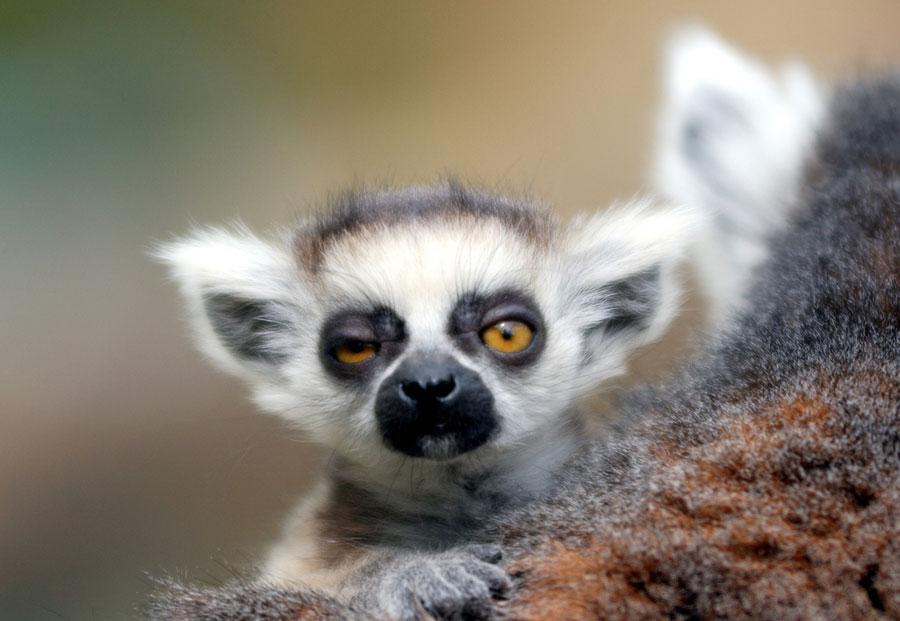 Baby Animals - Ring Tailed Lemur's Baby