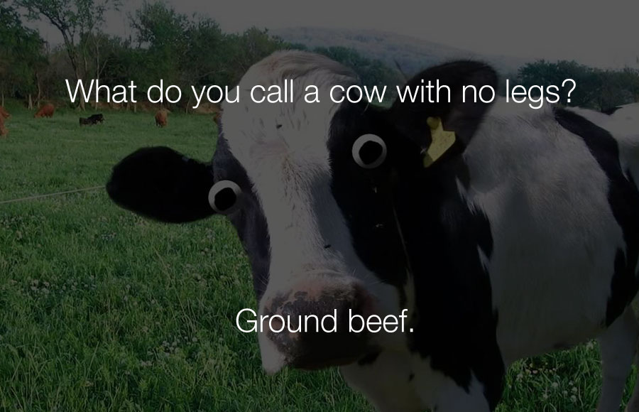 Hilarious Jokes - What do you call a cow with no legs.