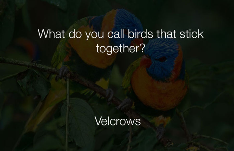 Funny Jokes - What do you call birds that stick together.