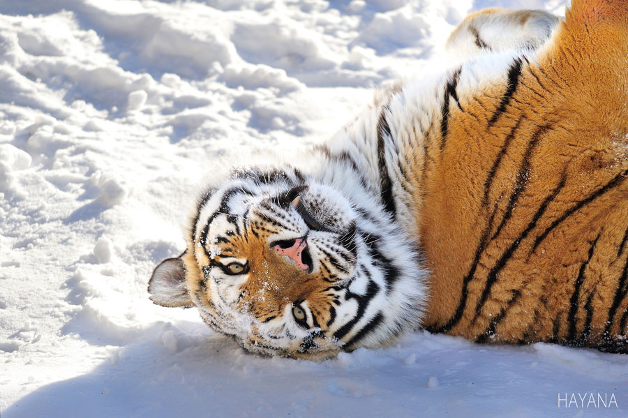 Winter Landscape - Siberia Tiger in Winter
