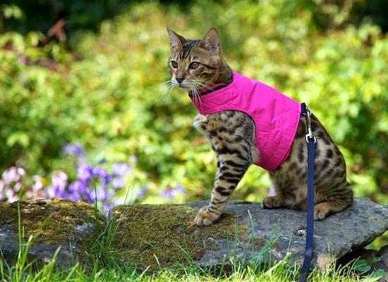 How to Train a Cat to Walk On a Leash and Harness