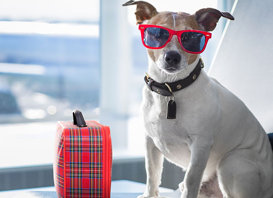 Airline Requirements: Traveling with an Emotional Support Animal