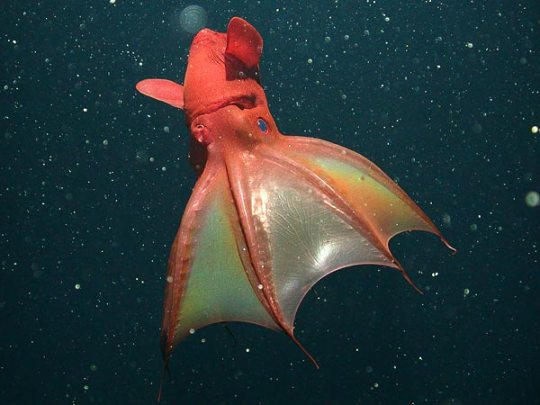 vampire-squid-found-to-eat-marine-snow-green-side