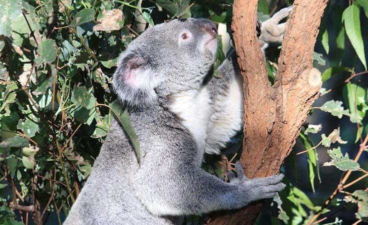 800px-Koala_at_the_Lone_Pine_Koala_Sanctuary,_Brisbane,_April_20_1014._(14477612164)