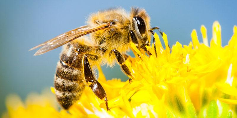 Como As Abelhas Fazem O Mel?