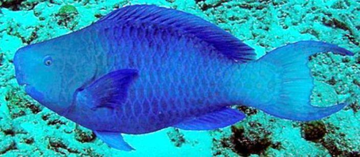 Peixe Budião Azul Tem Declínio De 30% Nos Abrolhos Por Causa Da Sobrepesca