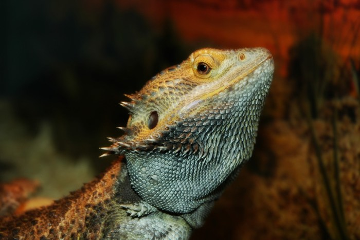 20x30 bearded dragon