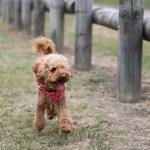 室内犬を買うならトイプードルをおすすめする3つの理由