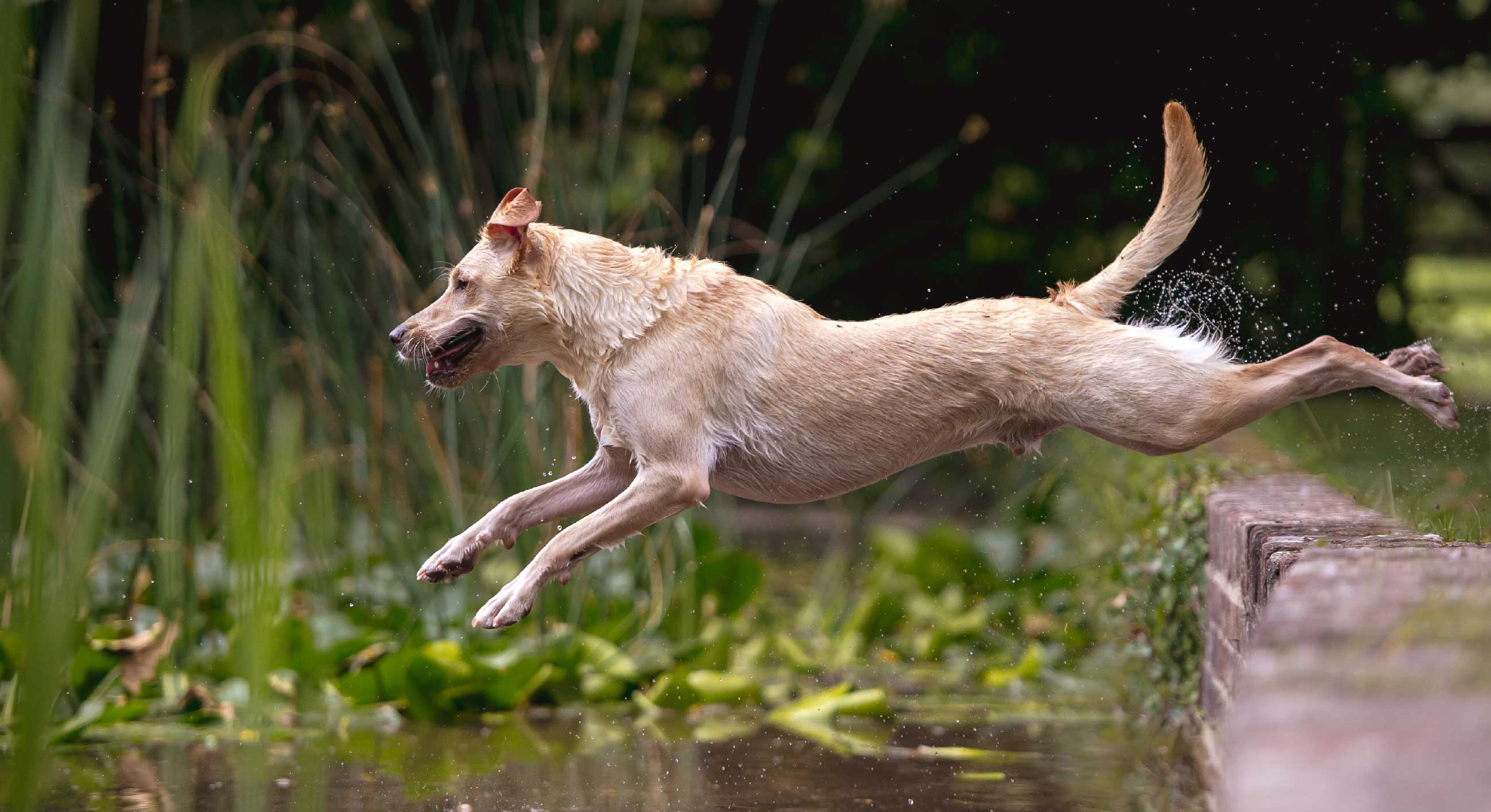 Labrador jumping from a wall into a lake
