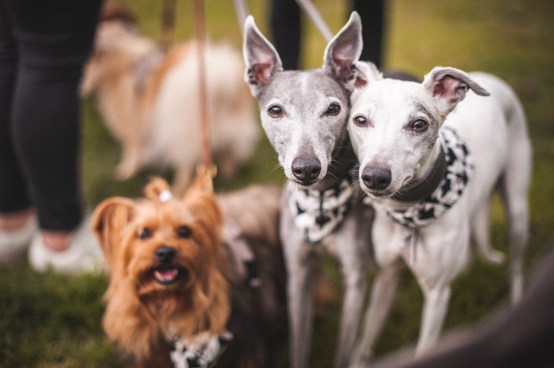 Two whippets and a terrier looking at the camera at dogstival event