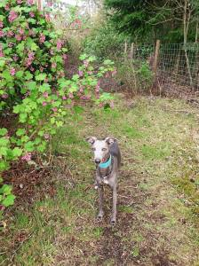 Mobile phone image of a whippet underneath small tree with blossom to demonstrate how a scene looks to some people